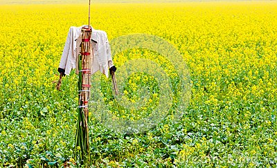 Scarecrow stands guard in rape field