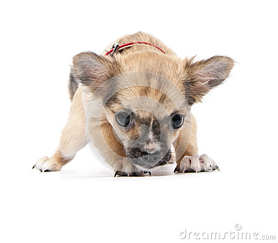 Scared funny Chihuahua puppy