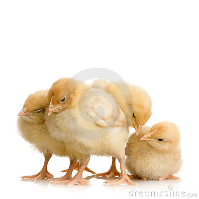 Free Scared Group Of Chicks Royalty Free Stock Photos - 2249468