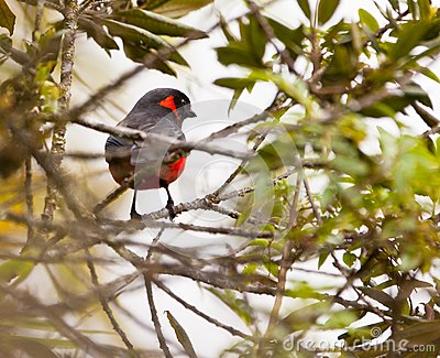 The Scarlet-Bellied Mountain Tanager