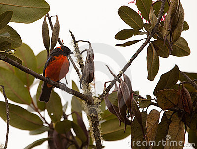 A Scarlet-Bellied Tanager in the rainforest