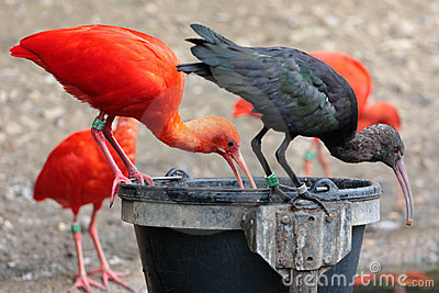 Scarlet and black Ibis s