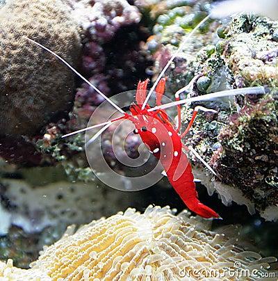Free Scarlet Cleaner Shrimp 1 Stock Photo - 1887920