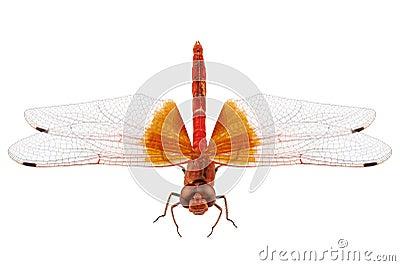 Scarlet Dragonfly species Crocothemis erythraea