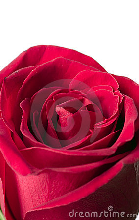 Scarlet flowering rose