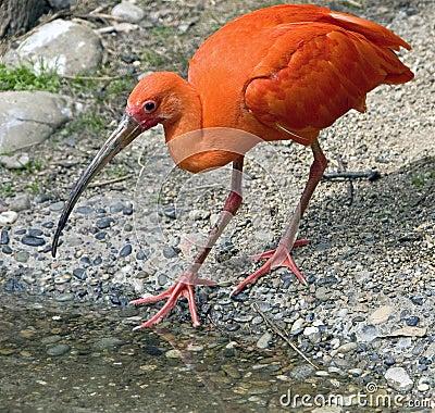 Scarlet ibis 5