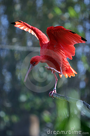 Scarlet Ibis Eudocimus ruber stands on a tree branch