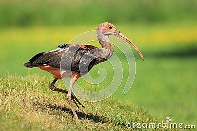 Scarlet ibis juvenile