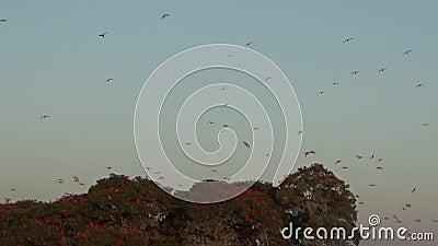 Scarlet Ibis no Delta das Américas video estoque