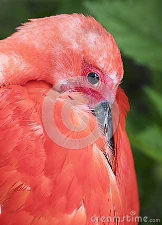Free Scarlet Ibis Portrait Stock Image - 104555301