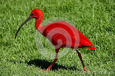 Scarlet Ibis, South Africa