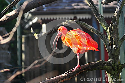 Scarlet Ibis on a tree