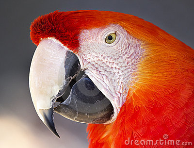 Scarlet Macaw Stock Photo - Image: 22102550