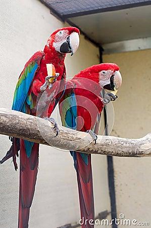 Scarlet Macaw. Ara macao