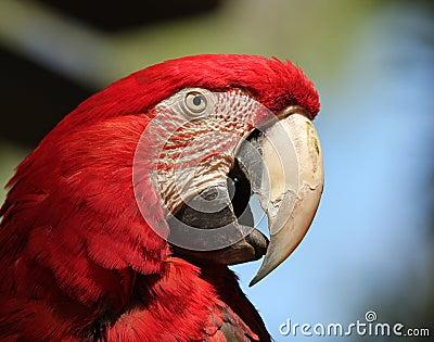 A Scarlet Macaw, Ara macao