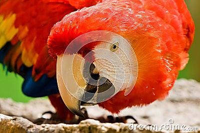 Scarlet Macaw Bird