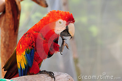 Scarlet Macaw Bird Scratching