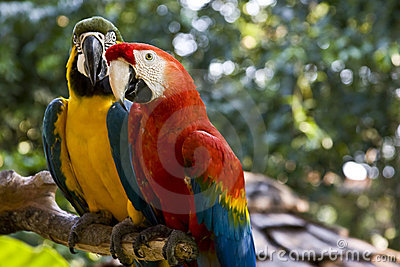 Scarlet-Macaw and Blue-and-yellow-Macaw