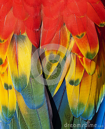 Scarlet macaw feathers closeup.