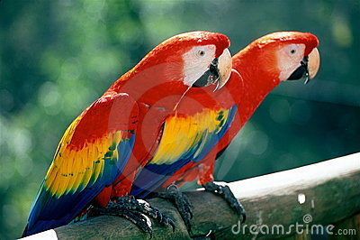 Scarlet Macaws on perch