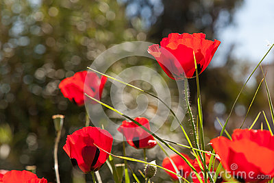 Scarlet poppies on the green grass