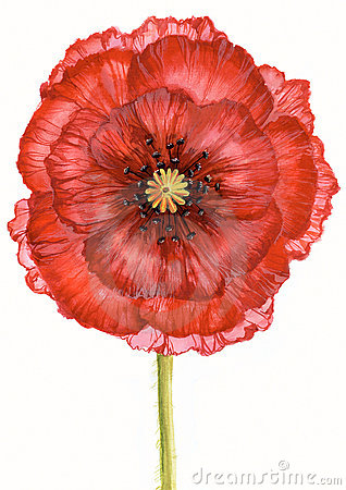 Free Scarlet Poppy Royalty Free Stock Images - 8337519