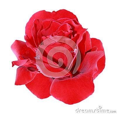Free Scarlet Rose Stock Image - 15419871