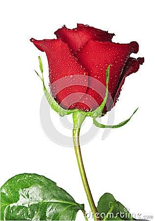 Free Scarlet Rose Stock Image - 22719571