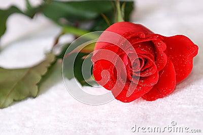 Scarlet rose with dew
