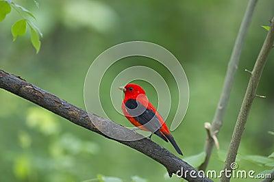 Scarlet tanager: Piranga olivacea