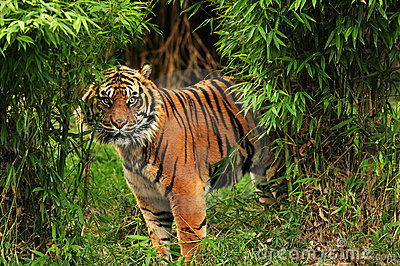 Scary Tiger in the woods
