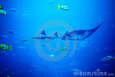Scate, shark and fishes in aquarium