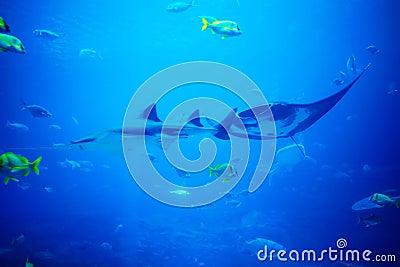Scate, tubarão e peixes no aquário