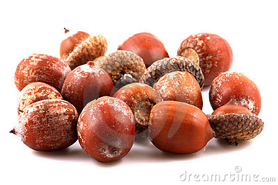 Scattered acorns