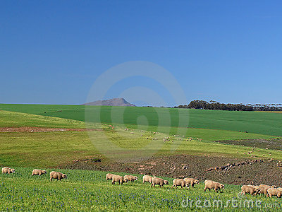 Scattered Sheep Grazing in a Green