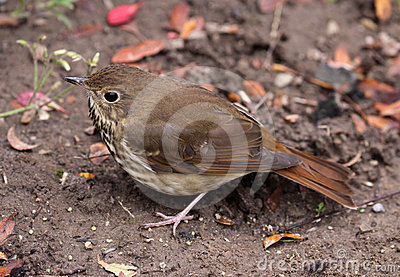 Scavenging Wood Thrush