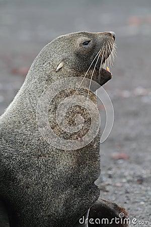 Sceau de fourrure antarctique écorçant, Antarctique