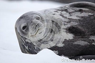 Sceau de Weddell de l Antarctique