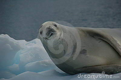 Sceau de Weddell sur la glace