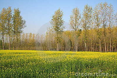 Scenic mustard fields in Uttaranchal India