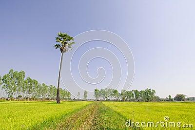 Scenic paddy field