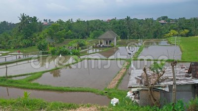 Ubud rice fields stock footage