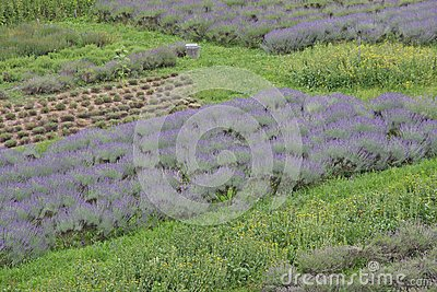 Scented and flowered Lavender field grown by enthusiasts and pat