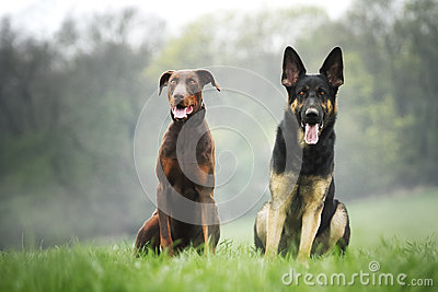 sch ferhund und brauner dobermann pinscher stockfoto bild 40433520. Black Bedroom Furniture Sets. Home Design Ideas