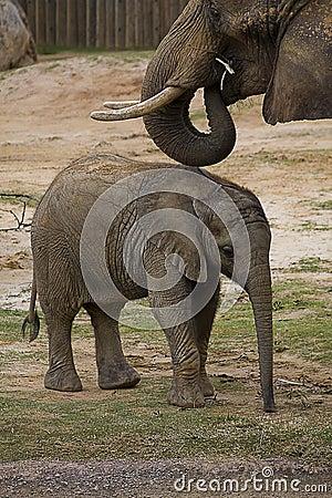 Schätzchen-Elefant