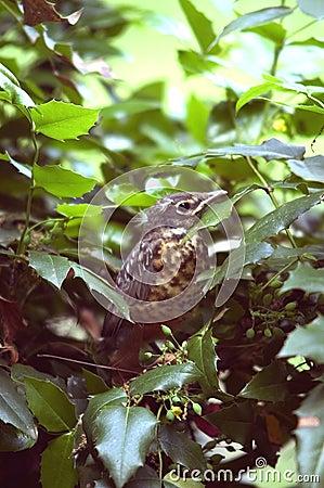 Schätzchen Robin