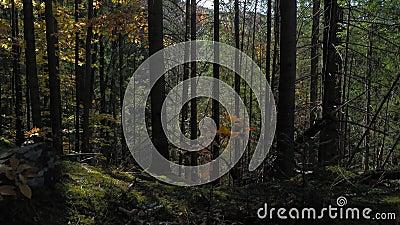 Schöne Aussicht von den Bergen durch das Dickicht der Karpaten Nadeln, Wandern in den Bergen der Ukraine Prores stock footage