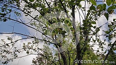 Schöne Nahaufnahme von grünen Baumblättern sie beeinflussen in den Wind stock video