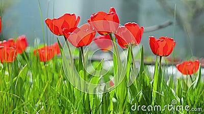 Schöne Naturlandschaft mit blühenden Tulpe in Sonnenflare /Schöne Wiese Feldblütentupe Schöne Naturlandschaft mit stock video footage