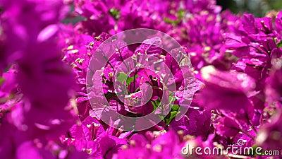 Schöne rosa Blume gegen die hellgrünen Blätter eines tropischen Busches Ein warmer sonniger Tag auf einer Tropeninsel abschlu? stock footage